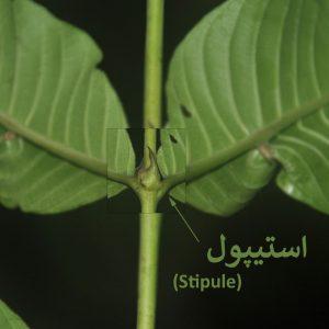 استیپول
