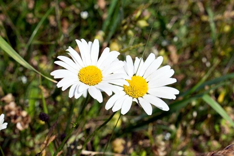 اندام های مختلف گل مینا دارای ترکیبات شیمیایی فراوانی است.