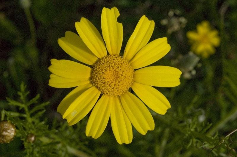 Chrysanthemum coronarium - در مقاله بابونه کبیر