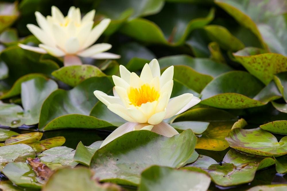 تیره نیلوفر آبی (Nymphaeaceae)