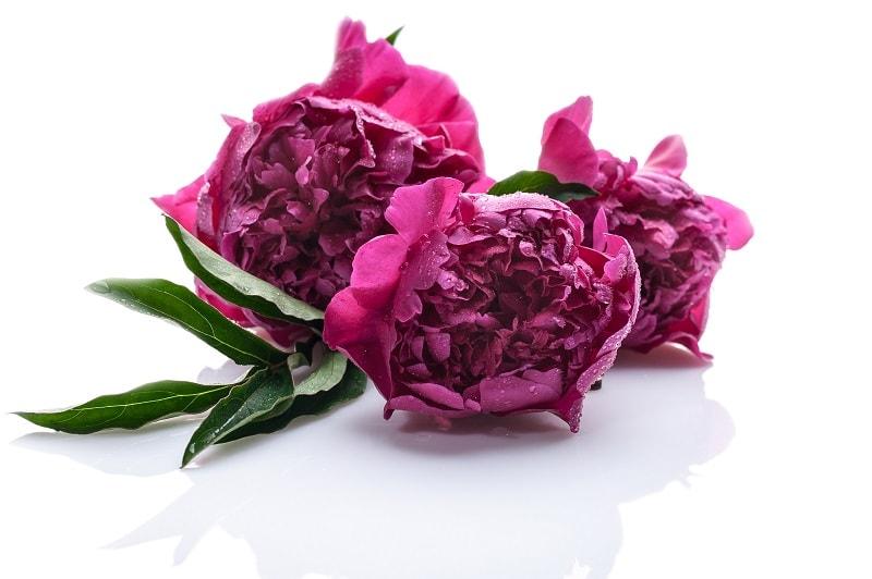 نحوه کاشت و تکثیر گل صد تومانی