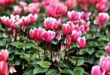 گل نگونسار