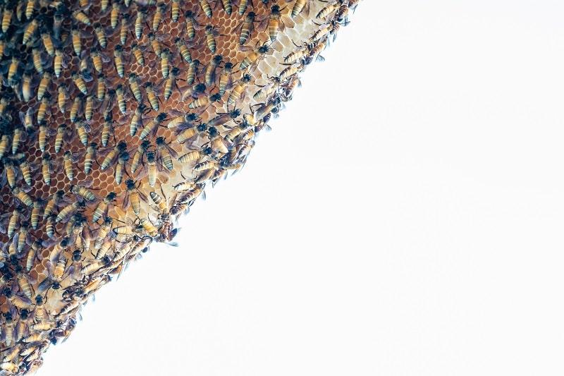 فصل مهاجرت زنبورها