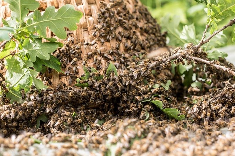 تغییر قندهای طبیعت توسط زنبور عسل