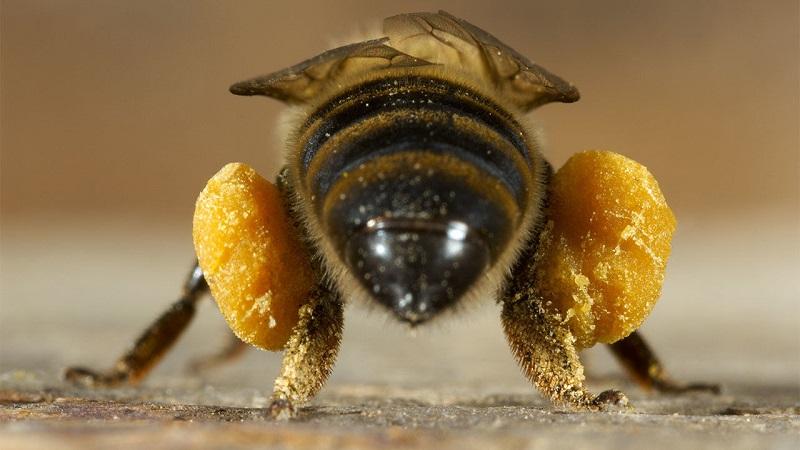 تاریخچه زندگی کلنی زنبور عسل
