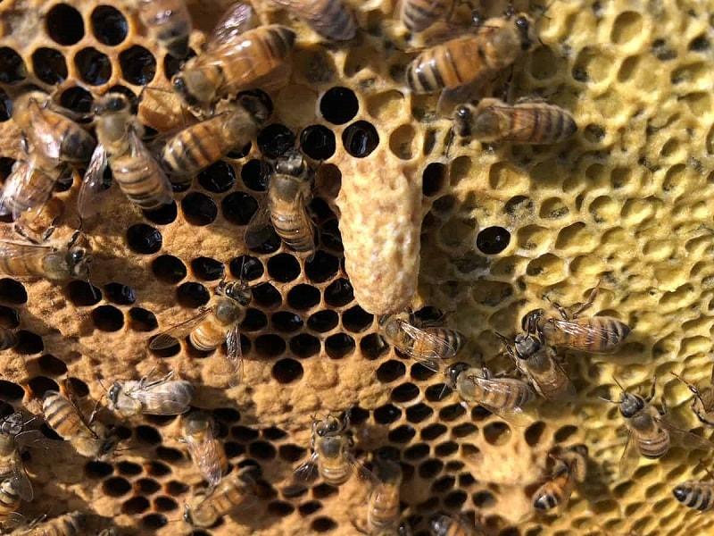 از فعالیت های زنبور عسل تغذیه نوزادان