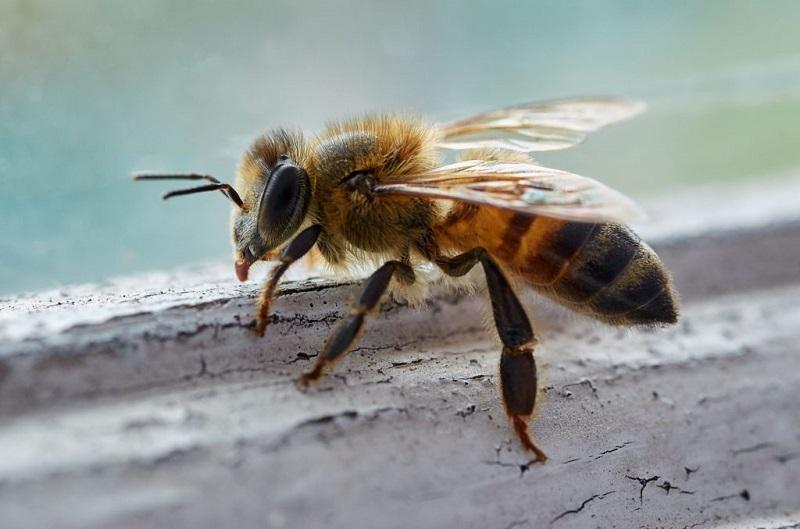 زیست شناسی زنبورعسل - زنبورکارگر