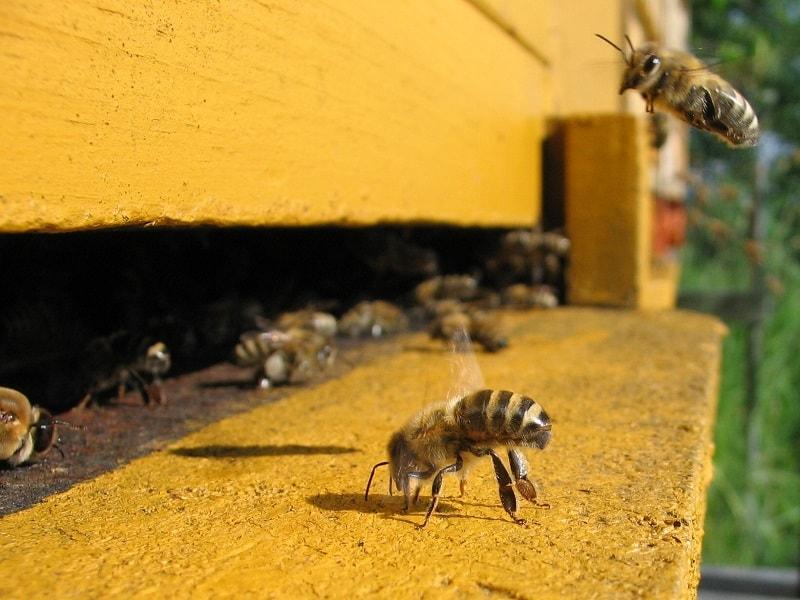 رفتار زنبورها