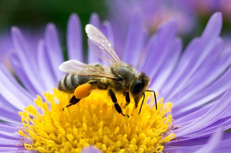 جمع آوری شهد گلها توسط زنبور عسل