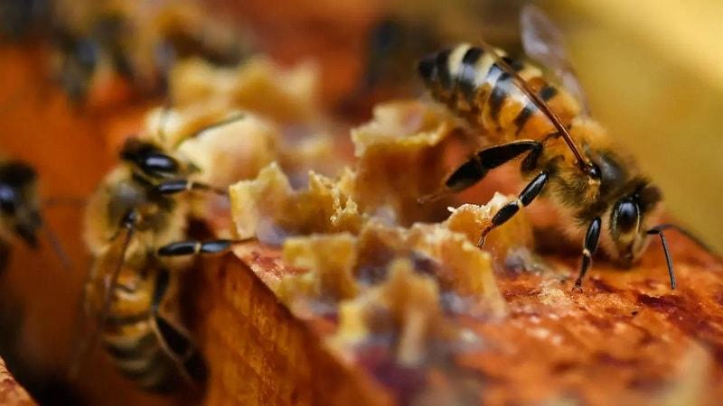 بروز مشکلات در پرورش زنبور عسل
