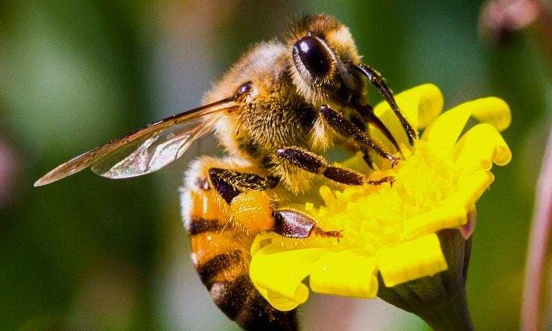 پرورش زنبور عسل در ایران و نژاد بومی ایران
