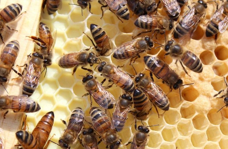 زنبورهای بهاره و تابستانه
