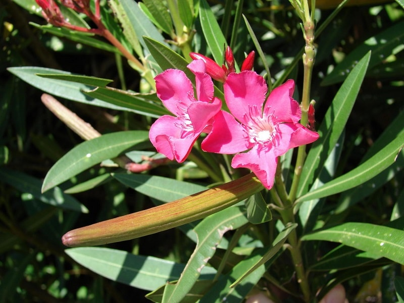 سیماری ژنین موجود در ترکیبات گیاهان تیره خرزهره