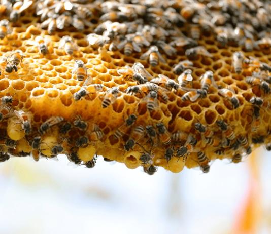 پروروش زنبورعسل