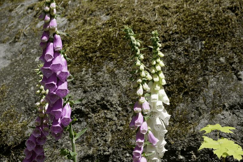 نحوه کاشت و برداشت محصول گل انگشتانه