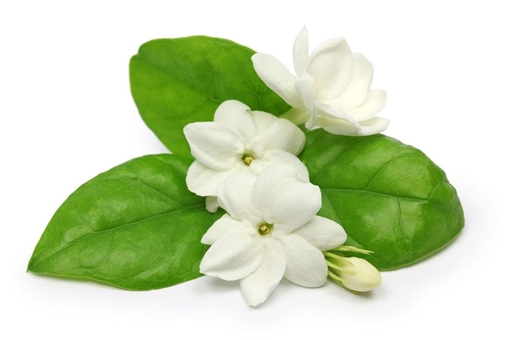 گل رازقی