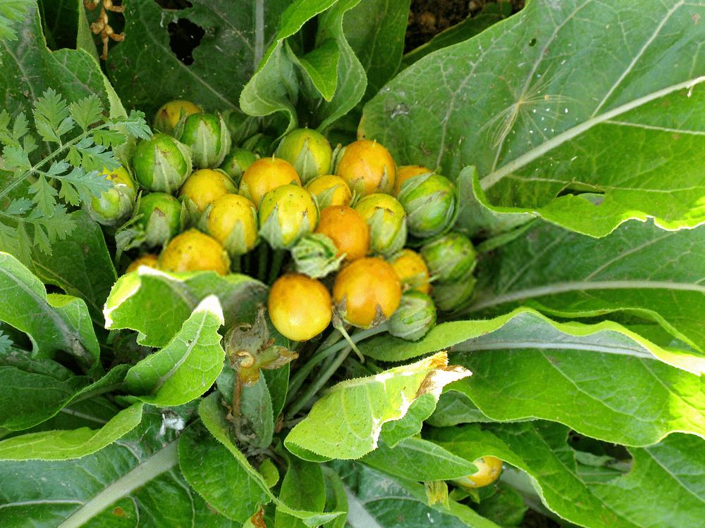 mandragora-officinarum