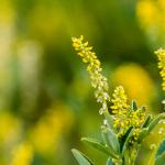 گیاه شبدر زرد
