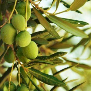 درخت زیتون