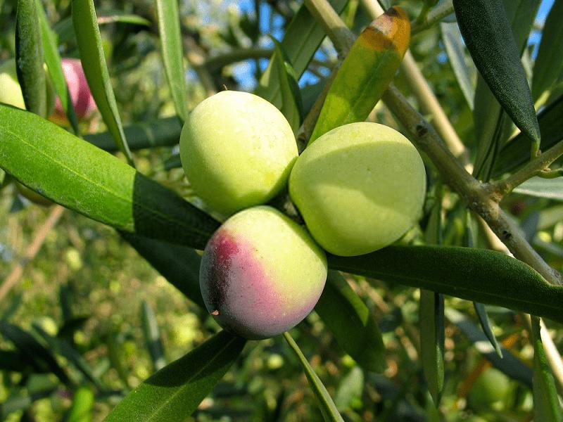 جوشانده برگ درخت زیتون