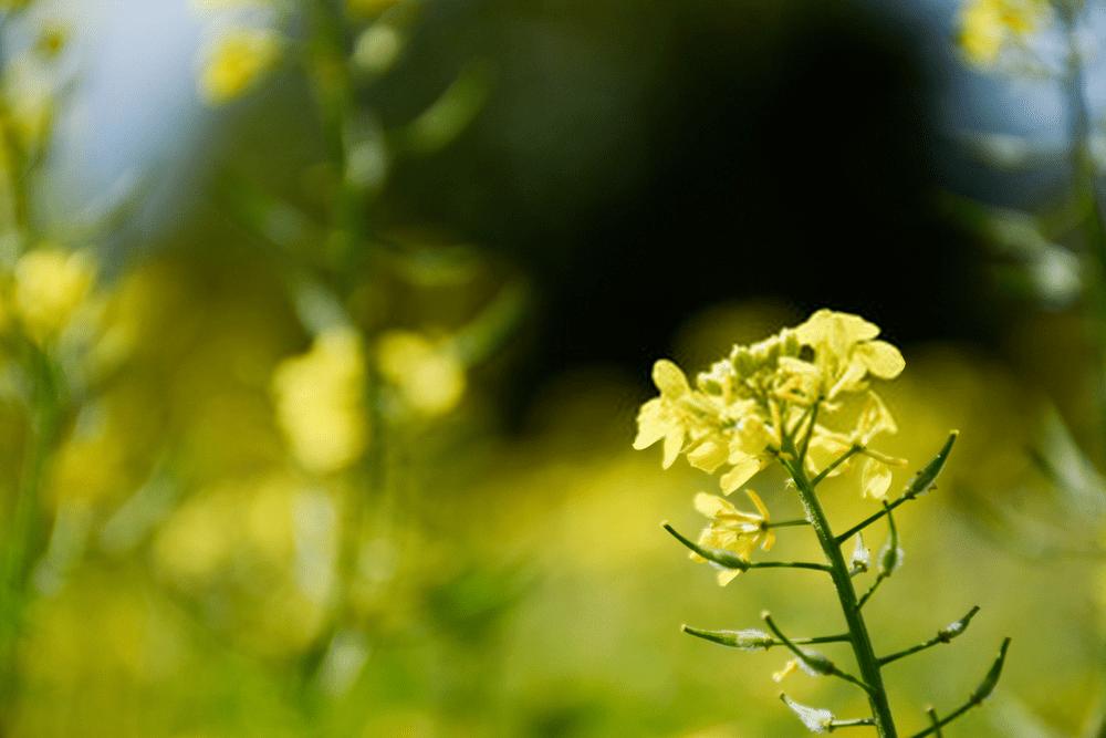 گیاه خردل سفید