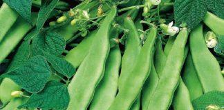 گیاه باقلا، باقلا مازندرانی