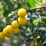 درخت زردآلو
