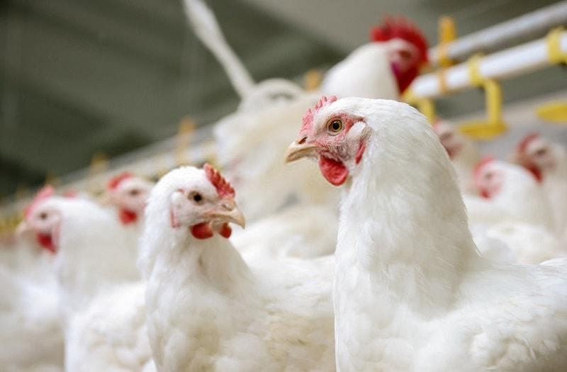 مزاج گوشت مرغ