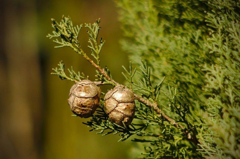 محلول شستشوی واژن اجزای درخت سرو