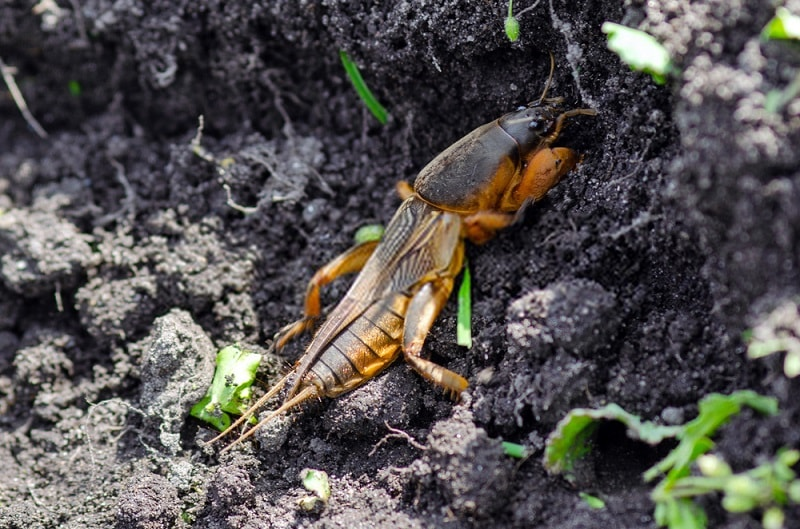 حشرات و آفات خاکزی - آبدزدک