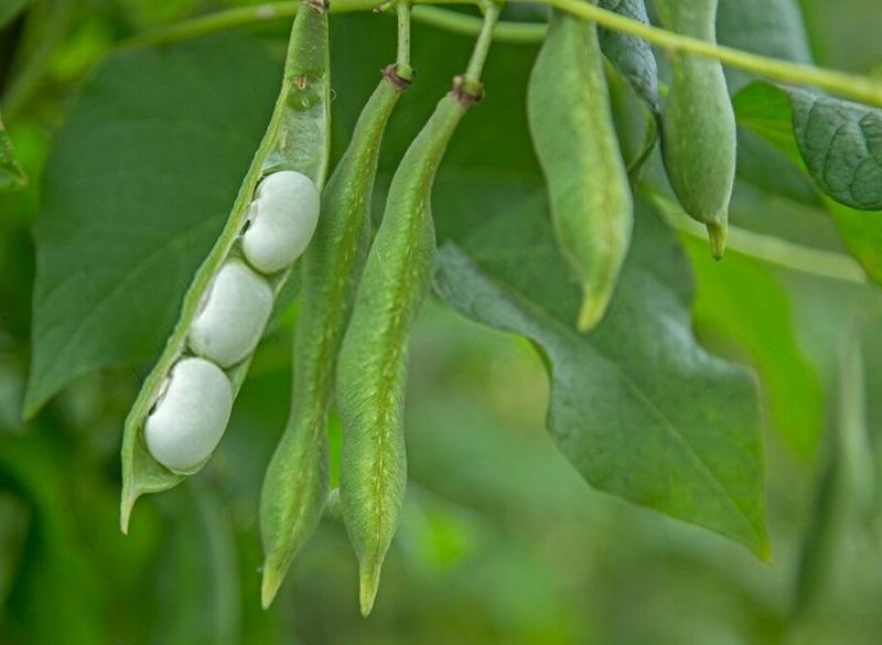 استفاده از میوه لوبیا به منظور درمان