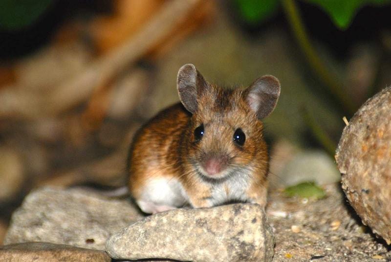 راه کارهای مبارزه با موش ها