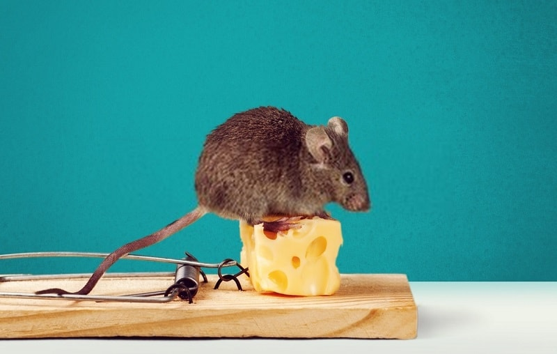 کاربرد موش کش ارگانیک در مبارزه با موشها