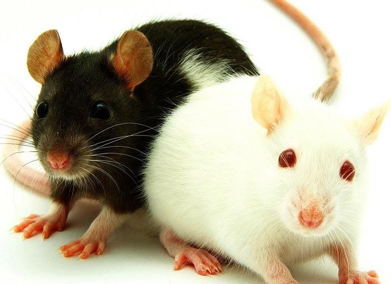 انواع موش ها