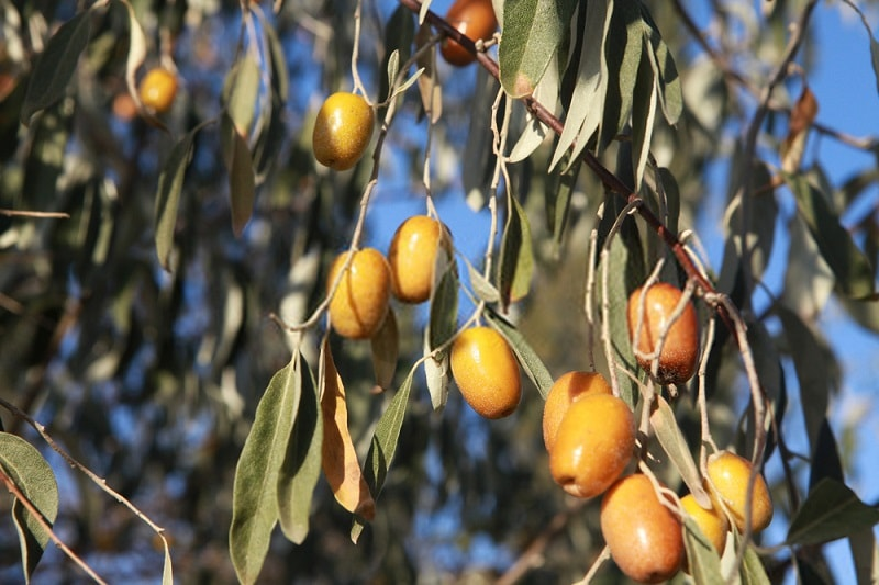 محلول شستشوی واژن اجزای درخت سنجد