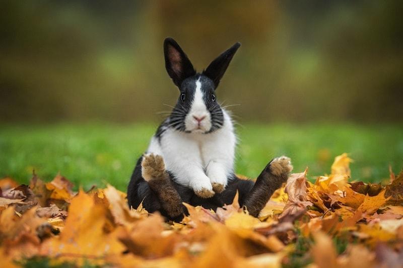 مزاج گوشت خرگوش