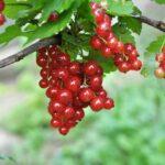 انگور فرنگی قرمز