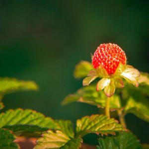تیره گل سرخ