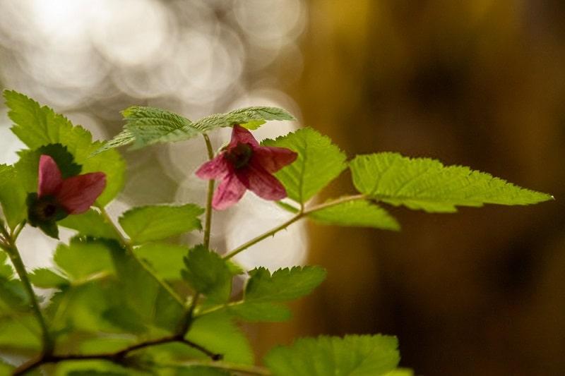 دستگاه ترشحی گیاهان تیره گل سرخ