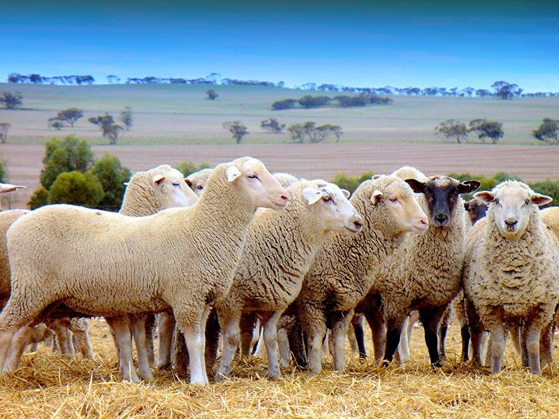 مزاج گوشت گوسفند