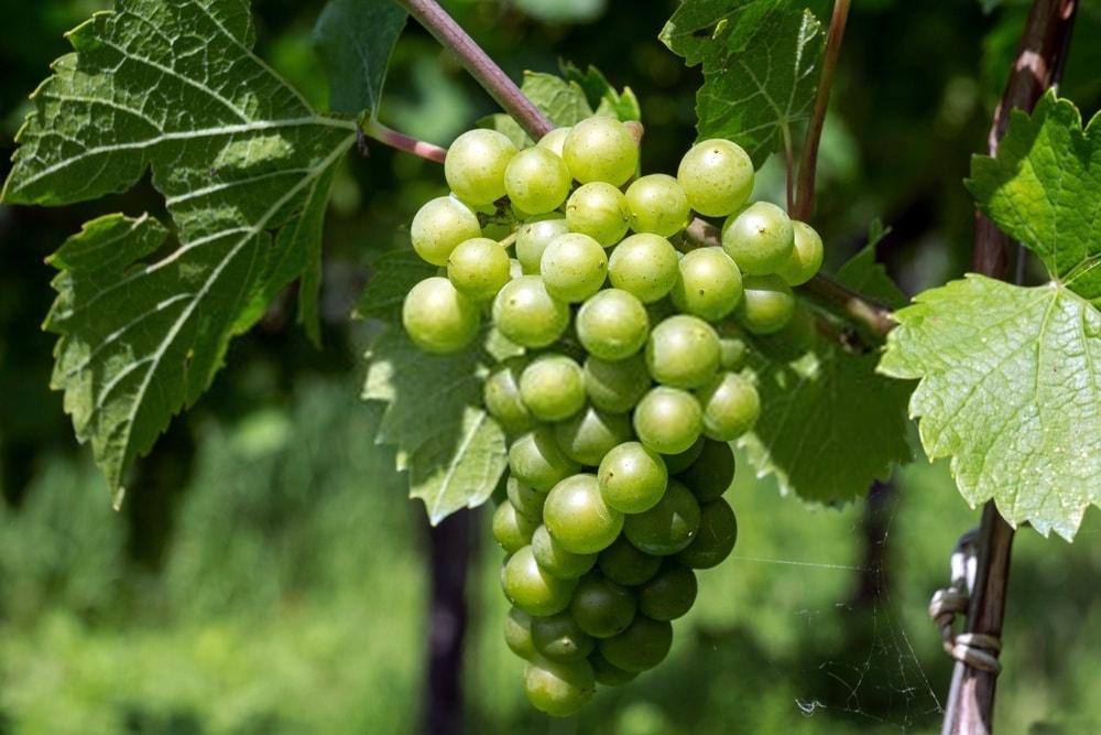 دیدگاه طب نوین نسبت به انگور