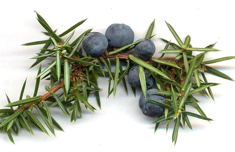 3-  ابهل (میوه سرو کوهی) (Juniper (Juniperus communis