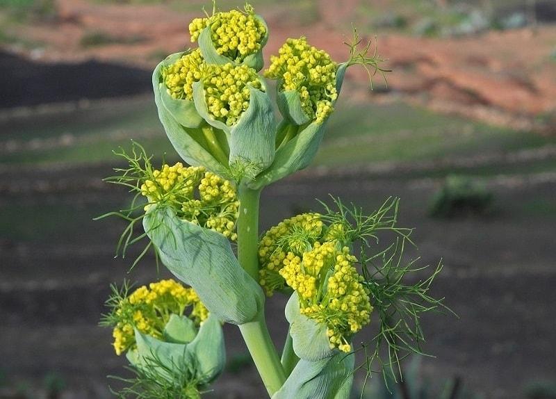 باریجه (Ferula gummosa) - آیدانا