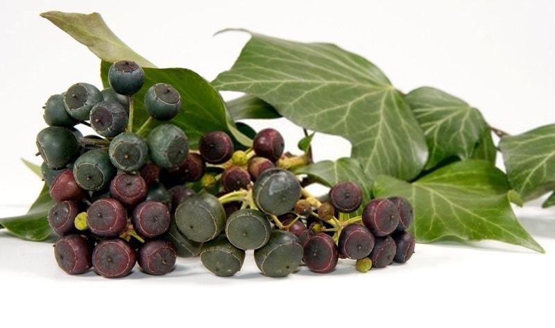 میوه گیاه عشقه