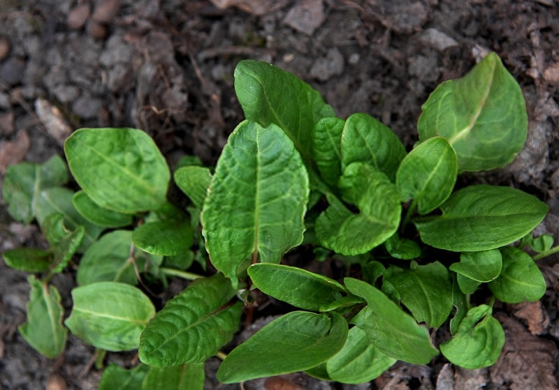 Rumex scutatus - گونه ای از گیاه ترشک