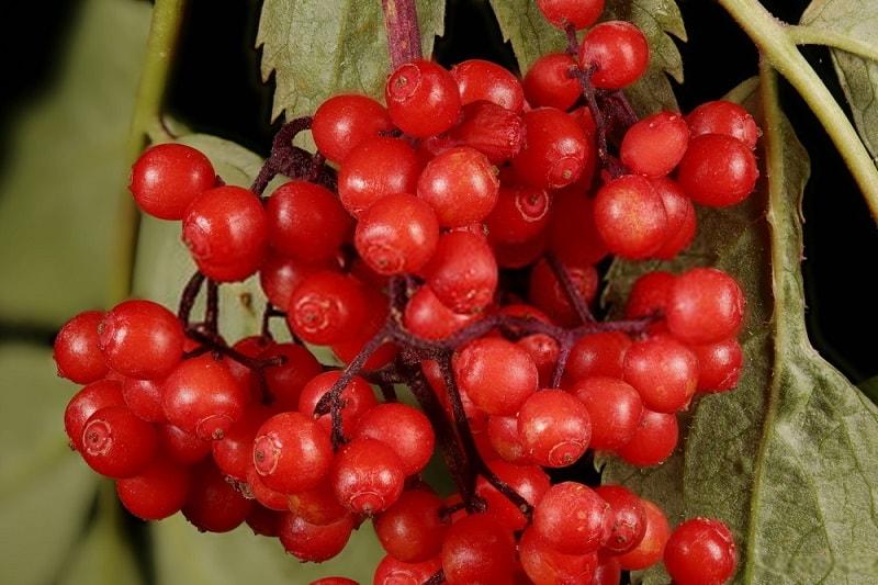 Sambucus canadensis - آقطی سرخ