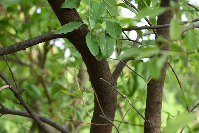 درخت صندل