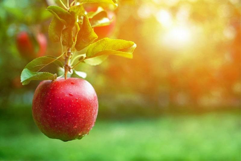 تاثیر کود زیستی بارور-۲ بر درختان سیب