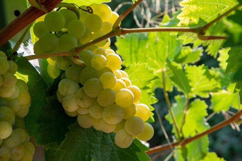 تأثیر کود زیستی بارور-۲ بر انگور