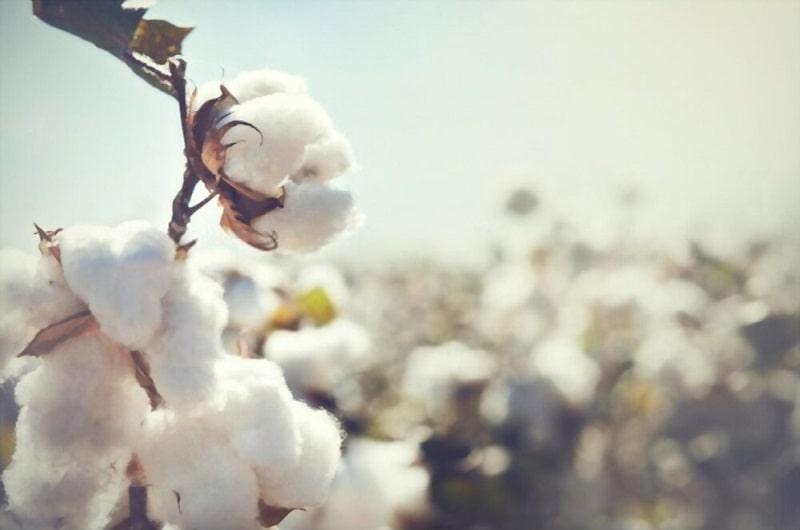 زراعت ارگانیک پنبه